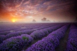 lavendar-field-near-maison-belle-claire